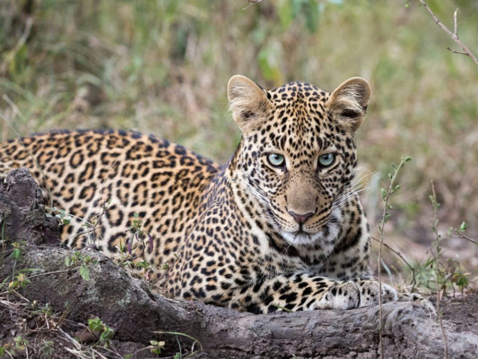Beautiful young leopard in a 'private viewing' in the Masai Mara.