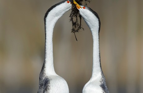 """Showcase 2020 Top 100 winner: """"Clark's Grebes Doing the 'Weed Dance', Southern California"""" © Brian E. Small."""