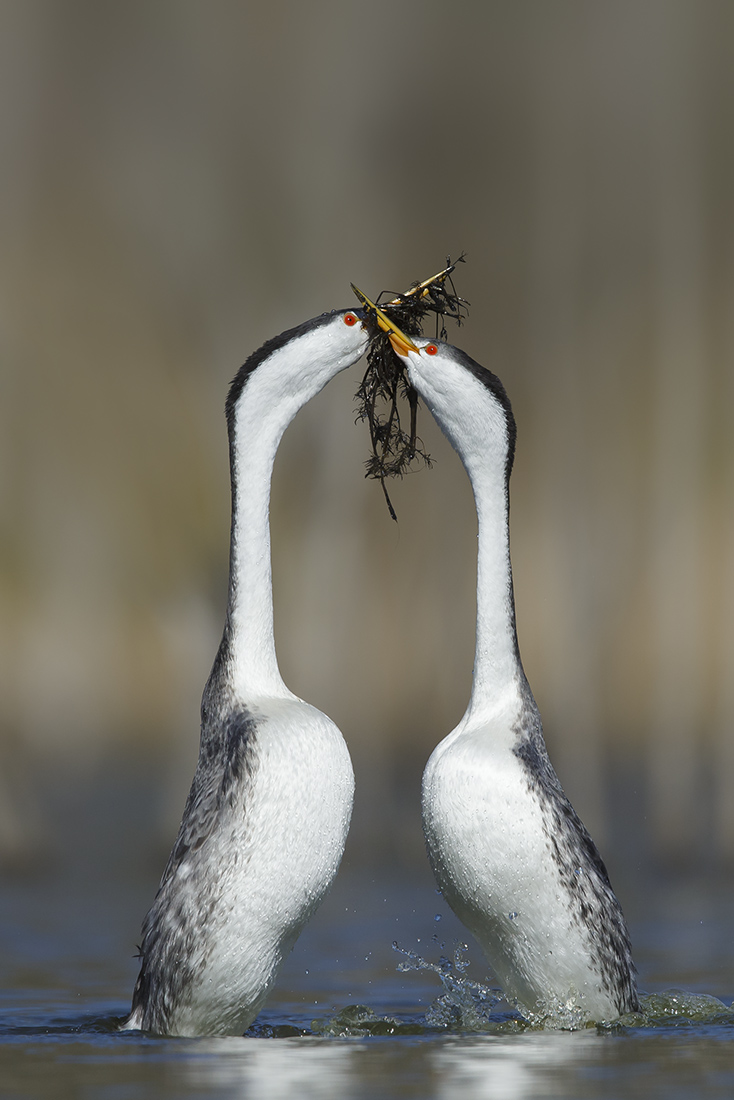 "Showcase 2020 Top 100 winner: ""Clark's Grebes Doing the 'Weed Dance', Southern California"" © Brian E. Small."