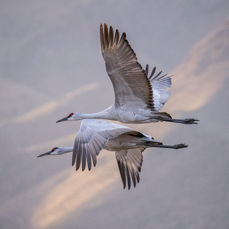 Sandhill Cranes flying together © Bob Coates.