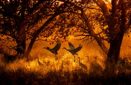 """Showcase 2020, Best in Category, Birds: """"Sandhill Cranes at Sunset in Central New Mexico"""" © Keith Bauer."""