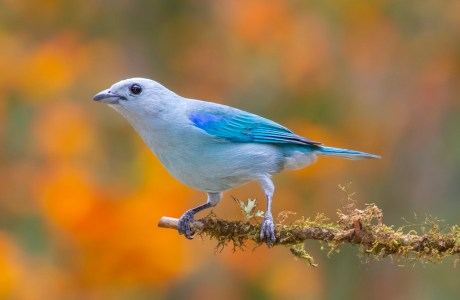 Blue-gray Tanager photographed in the Talamanca Mountains of Costa Rica. © Kathy Adams Clark.