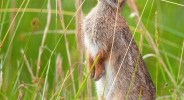 Eastern Cottontail siting on fence nibbling on grass. Photographed on Assateague Island.
