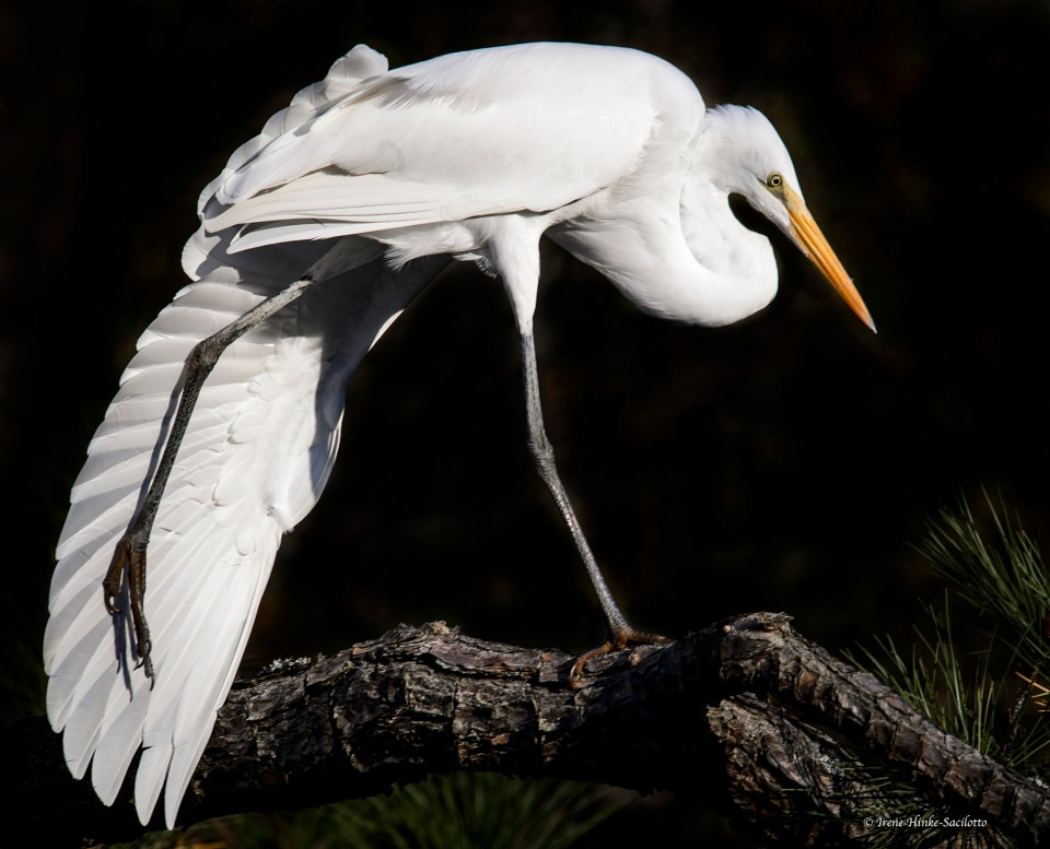 I saw this Great Egret beginning to stretch after sitting on this branch for a long time. It extended its wing and then stretched its leg. I was lucky to capture this image at the exact moment that the bird's leg was extended with the wing behind.