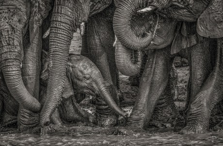 """Showcase 2020 Top 100 winner: """"African Elephants Surround a Youngster at a Water Hole, South Africa"""" © Kevin Dooley."""