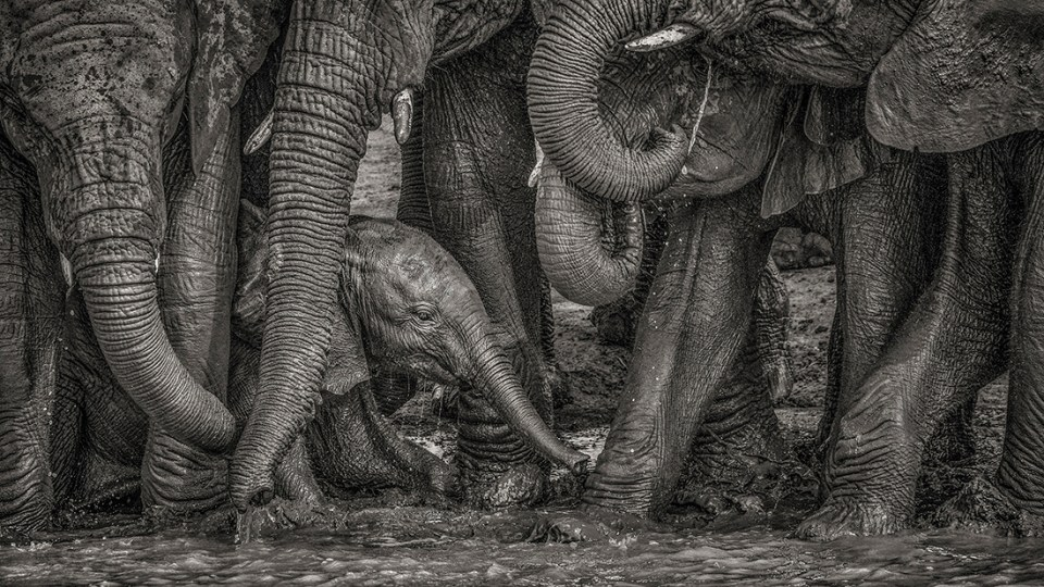 "Showcase 2020 Top 100 winner: ""African Elephants Surround a Youngster at a Water Hole, South Africa"" © Kevin Dooley."