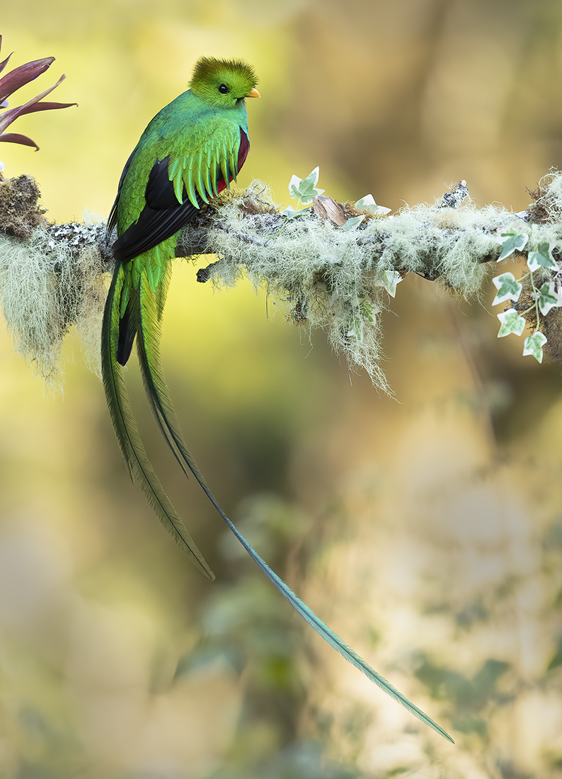 "Showcase 2020 Top 100 winner: ""Resplendent Quetzal, Paraisal Quetzal, Costa Rica"" © William Pohley."