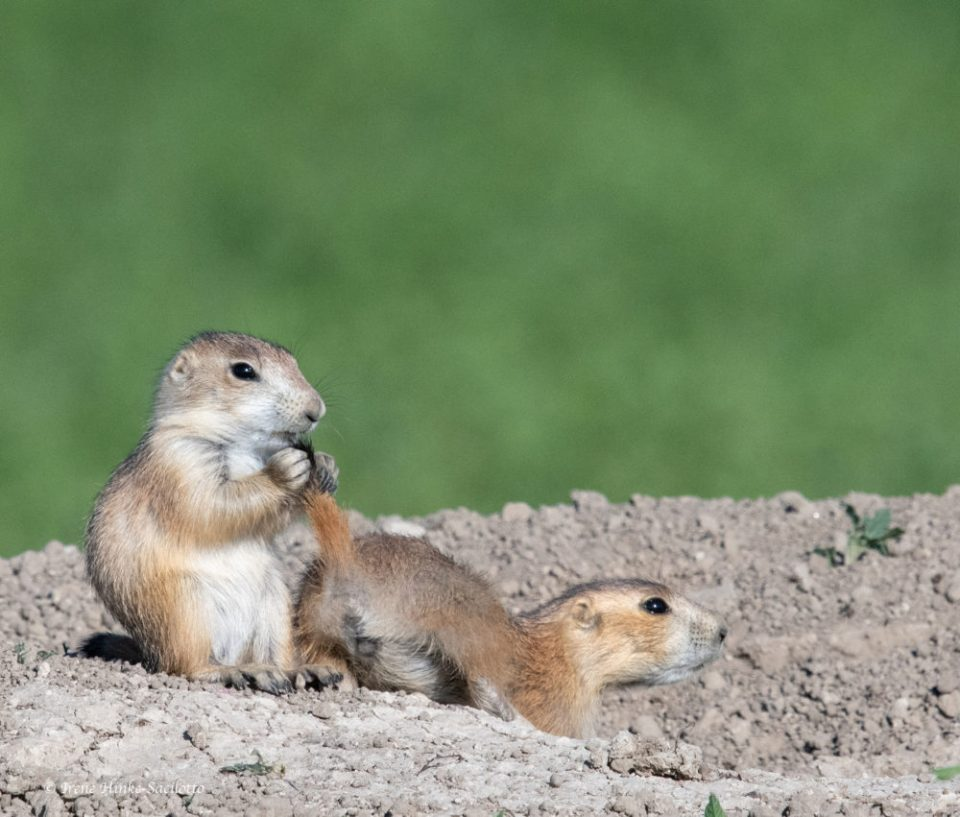 Humor is infectious. I had to laugh when watching this young Black-tailed Prairie Dog playing with the tail of its sibling.