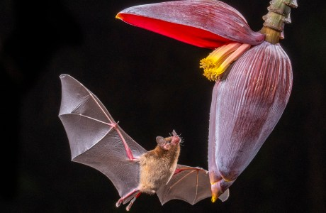 "2020 Showcase, First Runner-up: Mammals. ""Nectar Bat and Banana Plant Flower, Costa Rica"" © Newton Hightower."