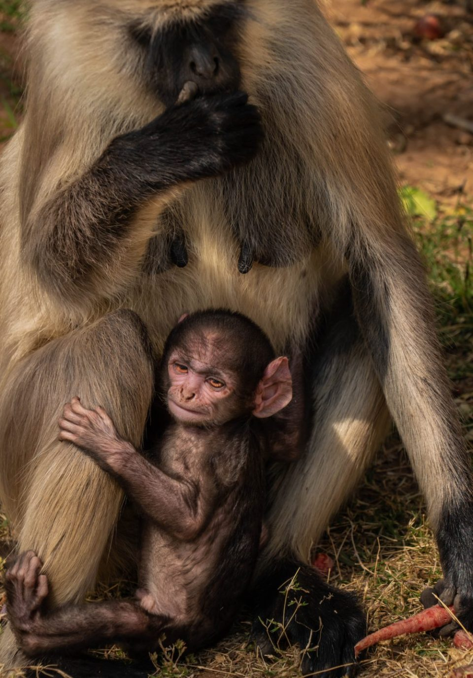 Langur monkeys are seen at every tourist site in Rajasthan.