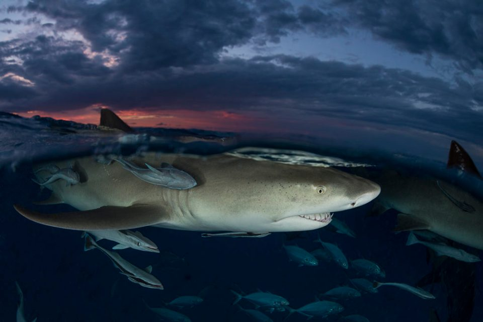 "2020 Showcase, First Runner-up: Macro/Micro/All Other. ""Lemon Shark Sunset Split, Tiger Beach, Bahamas"" © Matthew Meier."