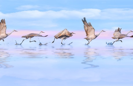 """Series of consecutive images of a sandhill crane taking off. 2020 Showcase, First Runner-up: Altered Reality. """"Taking Flight"""" © Bob Coates"""