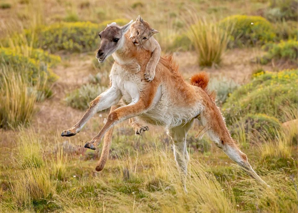 "Showcase 2020 Judges' Choice, Mammals: ""Puma Targeting a Large Guanaco"" © David Bates."