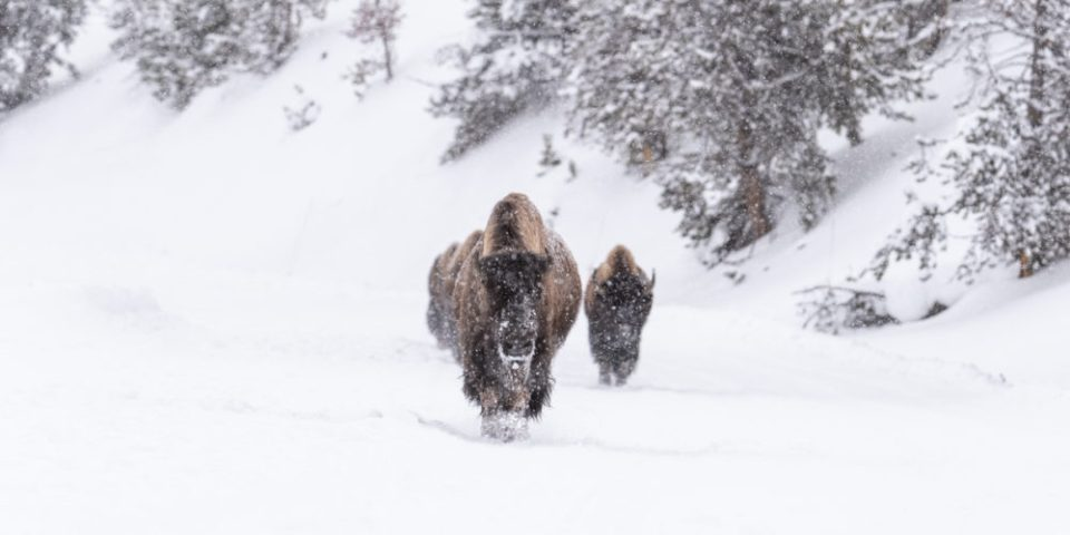 Bison sauntering down the road .