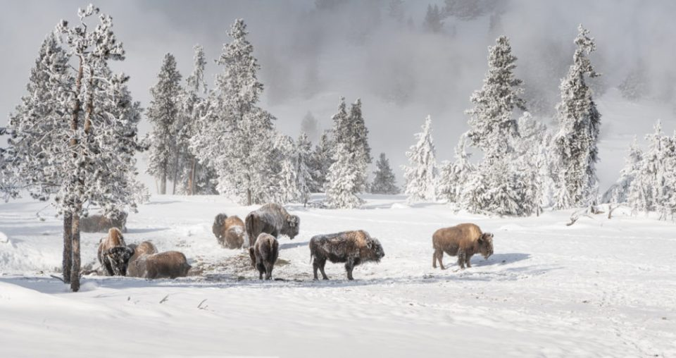 Several bison in a snowy clearing  enjoying the sunshine.