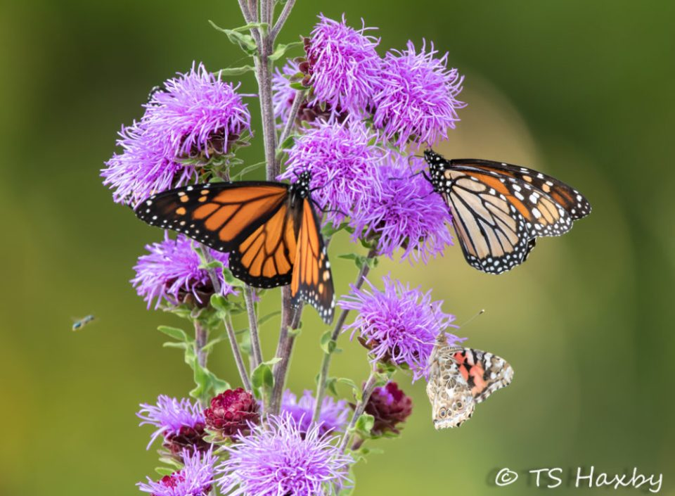 Three monarch butterflies on a flowering plant.  Each monarch is at a different stage of their life cycle, from freshly out of the cocoon to a mature adullt.