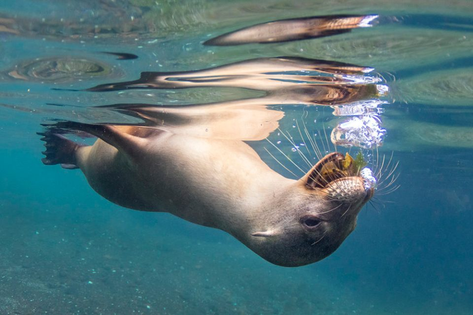 "Showcase 2020 Top 100 winner: "" Galapagos Sea Lion Blowing Bubbles"" © Susan McConnell"