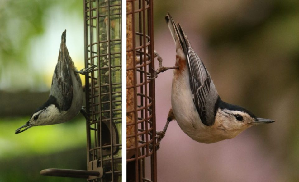 Photos of two White-breasted Nuthatches at a feeder