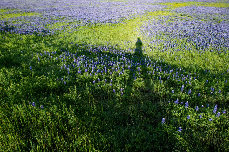 A field of Bluebonnet flowers.