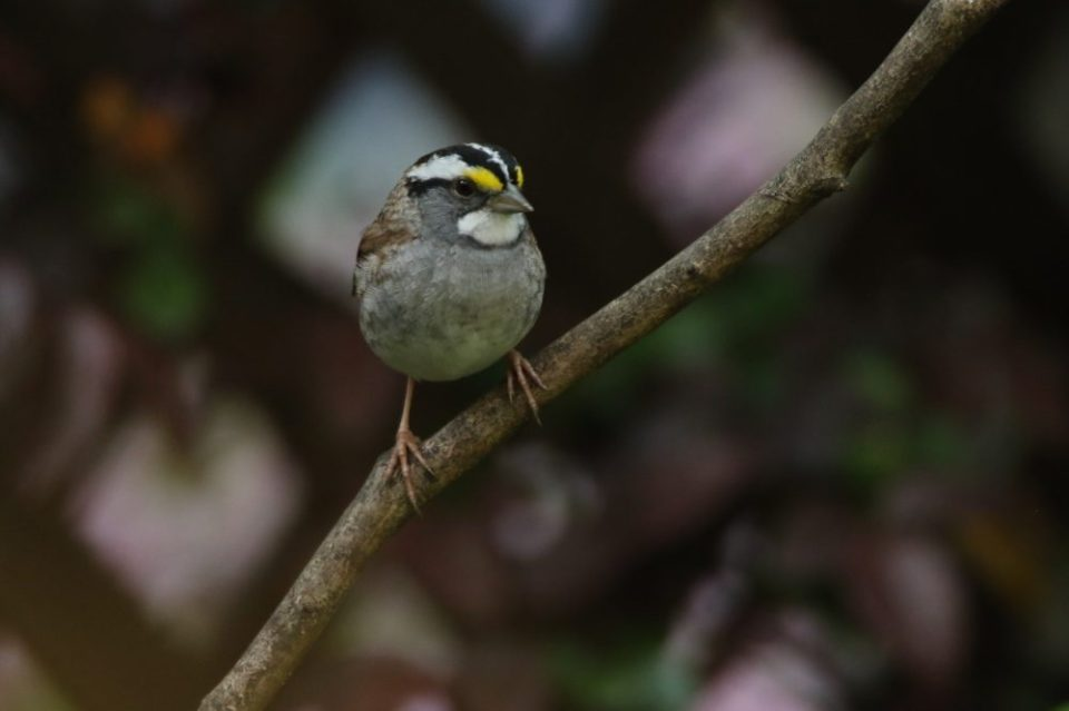 Photo of a White-throated Sparrow waiting. This bird does not often go to the feeder, but rather flies to the ground under the feeder picking up seeds that the other birds have dropped.