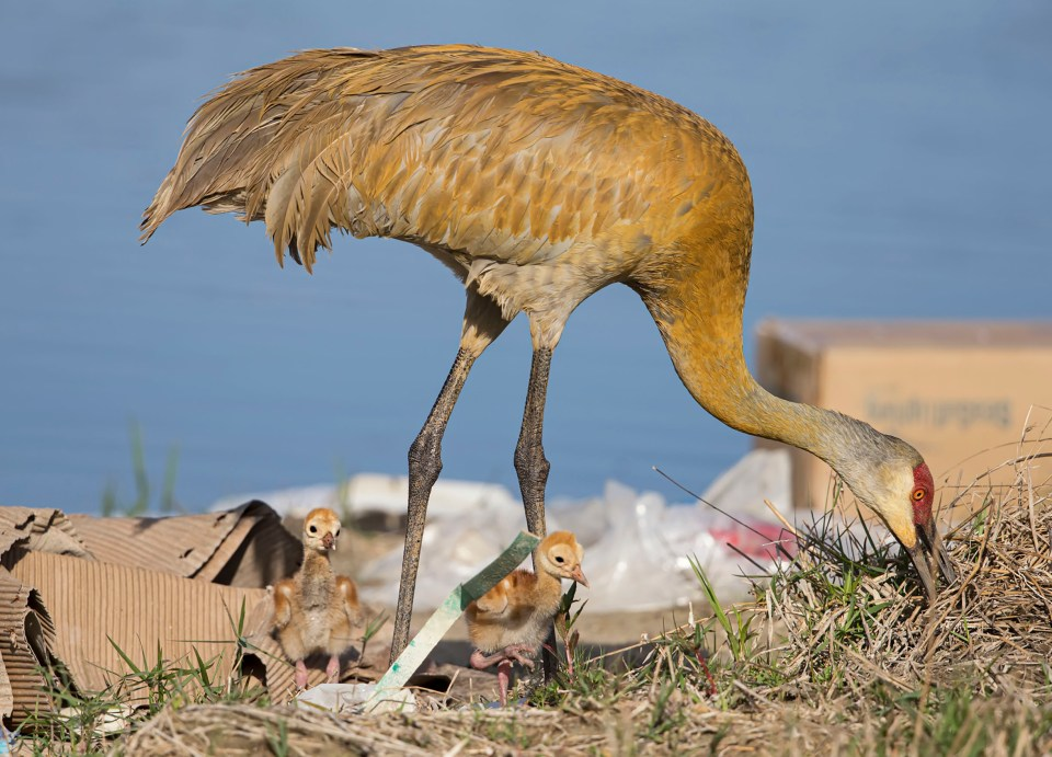 "Showcase 2020 Top 100 winner: "" Development Encroaches on Sandhill Crane Nesting Grounds"" © Claudia Daniels.  A photo of a sandhill crane foraging for food with buildings in the background."