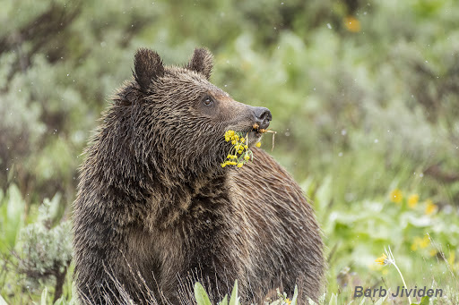 Grizzly Bear sub-adult photographed during a spring snowfall.