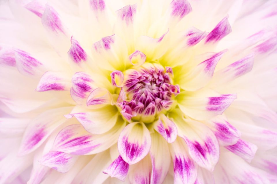 Close up photo of a dahlia shot at f/11