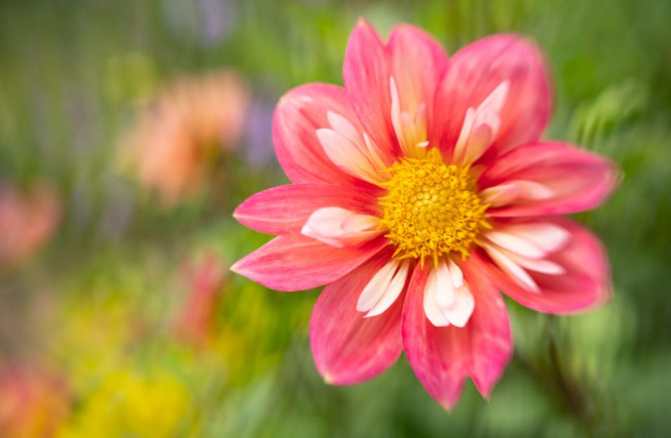 Photo of a petite pink dahlia with blades used on negative space to create texture.