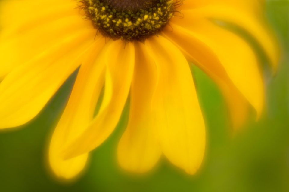 Close up photo of a rudbeckia flower at f/2.8.