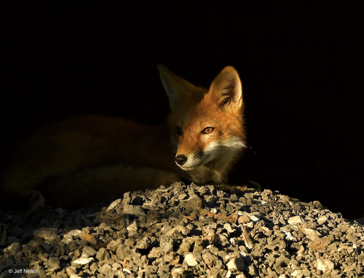 Fox in early morning light in den, photo by Jeff Nelson
