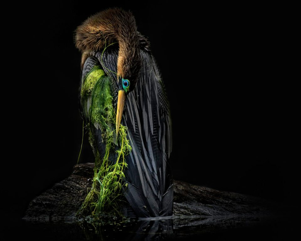 "Showcase 2020 Top 100 winner: ""Female Anhinga Emerges From the Swamp"" © Kelley Luikey"
