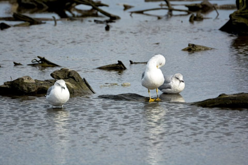 Photo of several gulls in the marsh, one of which is preening.