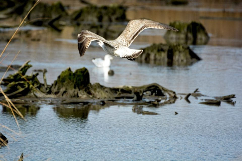 Aerial Reconnaissance: photo of a gull flying over the wetlands