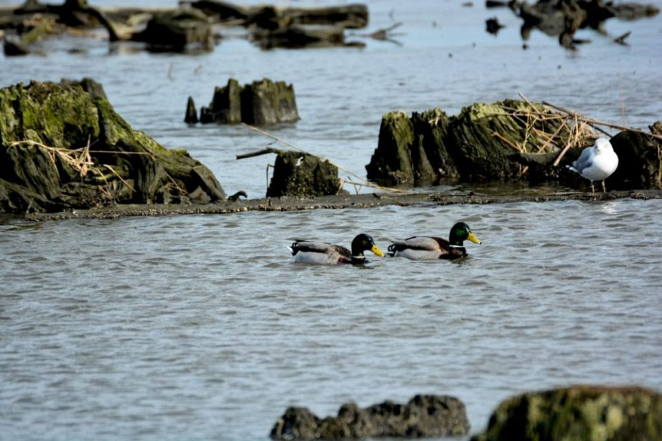 Photo of mallard ducks floating among the stumps in the marsh.