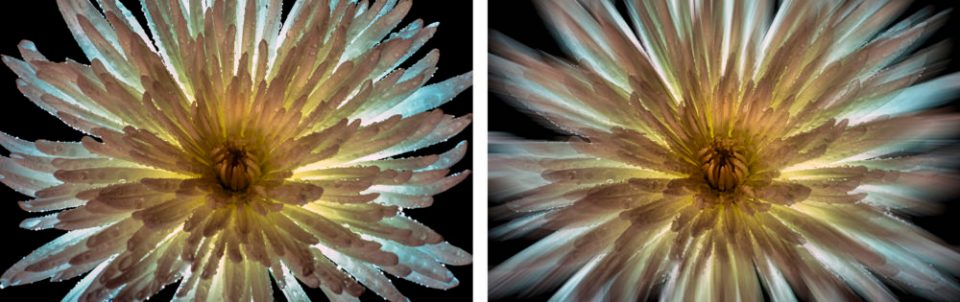 Unaltered chrysanthemum photo on the left and with radial blur filter (zoom method) applied on the right.