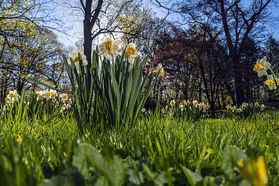 Low-angle view of a daffodil field