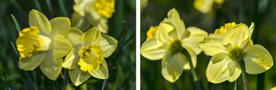 Front-lit Daffodils  (left) and Backlit Daffodils (right).