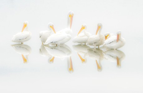 "Showcase 2020 Top 100 winner: ""American White Pelican Pod Preening"" © Dennis Fast Photography"