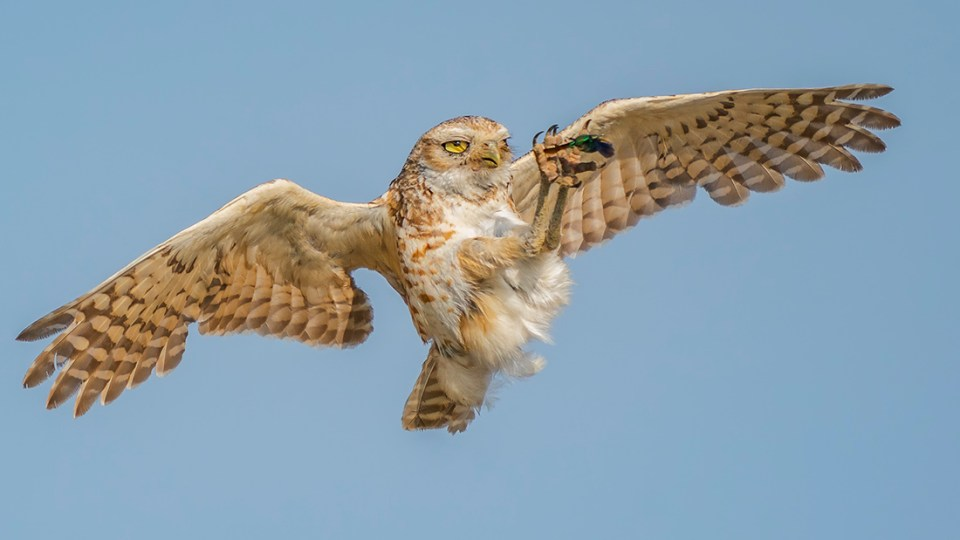 "Showcase 2020 Top 100 winner: ""Burrowing Owl Catching a Figeater Beetle"" © Sha Lu"