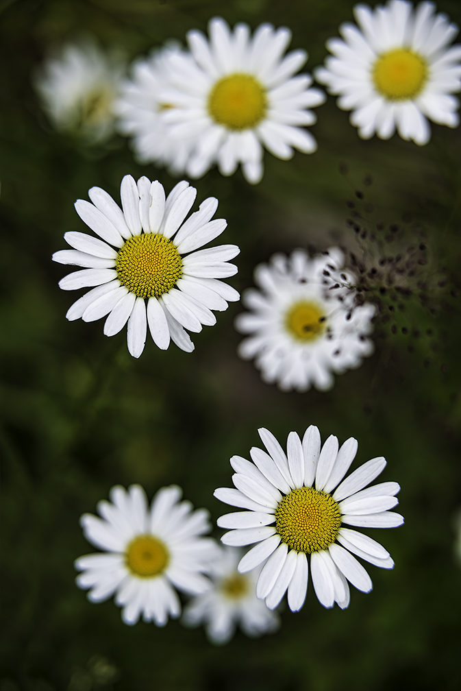Close up of daisies using extension tubes © F. M. Kearney