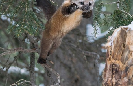 A young pine marten leaps from one tree to another in my direction. I was shooting out of an open window. Silver Gate, Montana © Patricia McCollom Bauchman