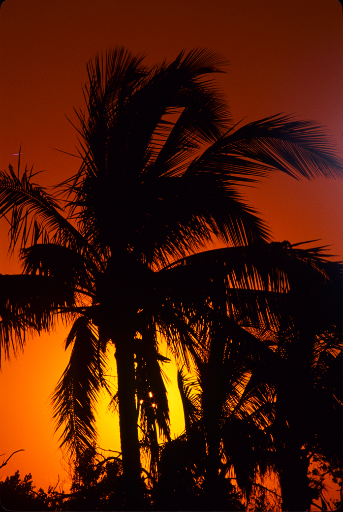 Coconut palm tree and a tropical sunset at near Miami