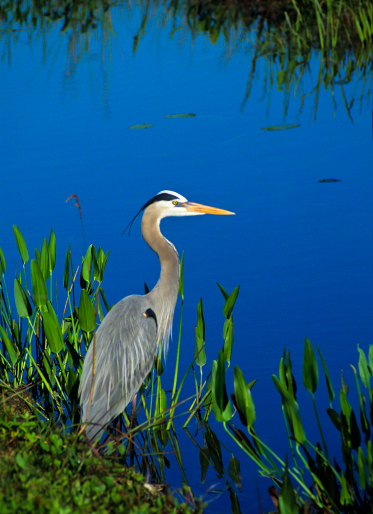 Great blue heron contemplating his next meal in the tropical Florida wilderness.