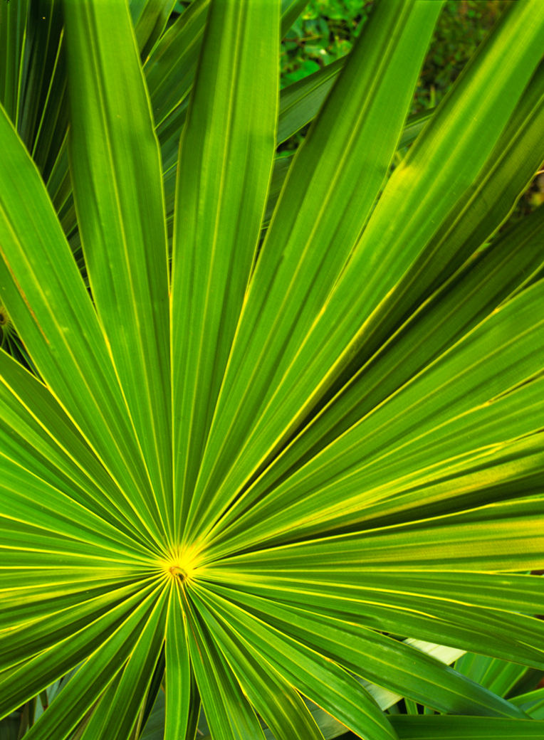 Tropical green palm frond spreads out