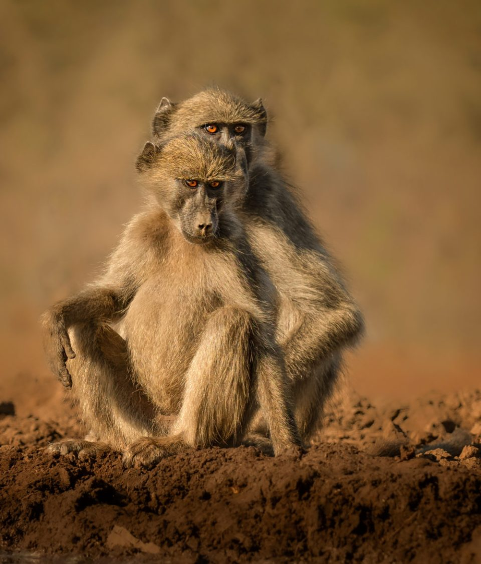 Photo of Baboons. This image exhibits emotion. When you look at the photo, you might note the eyes, the face and, if you are very observant, the hand. They are darker, more vibrant, and sharper than the surroundings. What you might not notice is the alternating light and dark areas which create tonal contrast and visual interest. The strength of figure/ground to make the subject stand out. The direction of gaze into the negative space works with implied converging lines. © Donna Brok