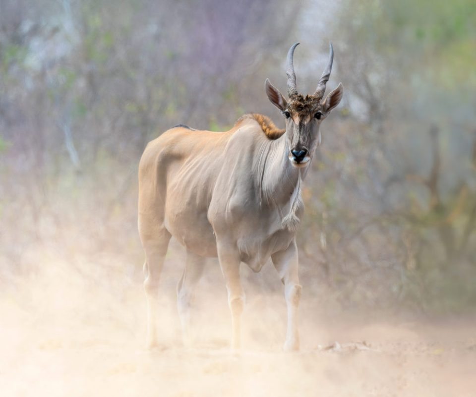 Photo of an eland. The background falls into colors and texture. The blowing dust adds ambiance. Nikon D850, 70-200 mm f/2.8, 1/1600 @ f/7.1, ISO 400 © Donna Brok
