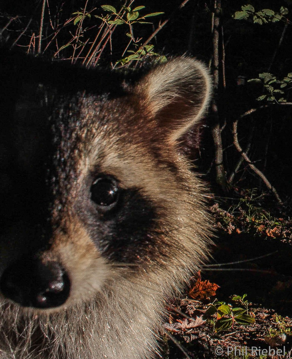 Inquisitive Raccoon, photographed by a camera trap, Renous, New Brunswick, Canada © Phil Riebel