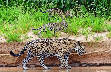 "Showcase 2020 Top 100 Winner: ""Female Jaguar Having a Walk with Her Cubs, Mato Grosso, Pantanal, Brazil"" © Pablo Cersosimo"