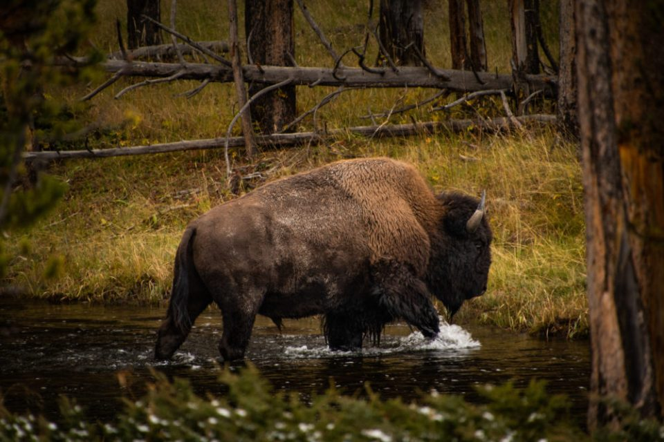 """The Crossing"" a photo of a bison crossing a river  ©  Kinley Bollinger"