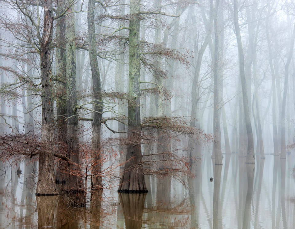 Early Morning Fog Surrounding Cypress Trees, image by David Hammond